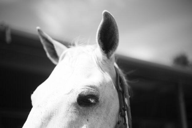 Aurale Plaques bei Pferden