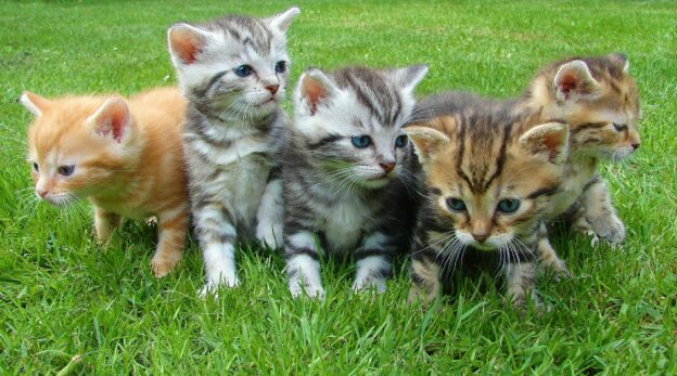 Katze-Giardiose