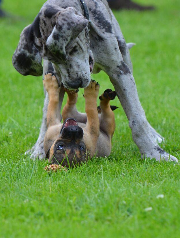 Junghund-Pyodermie
